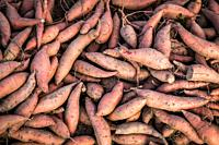 Pile of harvested sweet potatoes, Maryland, USA.