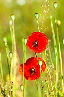 Red Poppies on the Meadow in Summer.