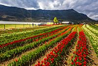 Lake Wenhai is a seasonal alpine lake and wetland in spring and summer. Here, in Spring, beautiful gardens of tulips and other flowers are planted, wh...