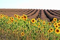 Sunflowers and lavender fields in Valensole, Provence, France.
