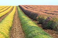 Lavender crop in Valensole, Provence, France.