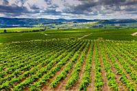 Vineyards in the Penedes region (Denominación de Origen Penedes). Barcelona province, Catalonia, Spain.