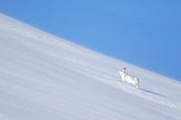 Mountain hare / Alpine hare / snow hare (Lepus timidus) in winter pelage running in the snow uphill