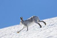 Mountain hare / Alpine hare / snow hare (Lepus timidus) in winter pelage running in the snow down mountain slope