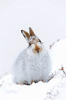 Mountain hare / Alpine hare / snow hare (Lepus timidus) in white winter pelage sitting in the snow