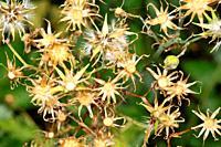 Botany. Dry plant. Fam compositae.