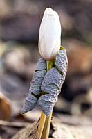 Bloodroot (Sanguinaria canadensis) - Holmes State Educational Forest, Hendersonville, North Carolina, USA.