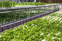 Hydroponic Agriculture, Cultivation of Lettuce. Dyersville, Iowa, USA.