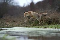 Red Fox / Rotfuchs ( Vulpes vulpes ), adult in winterfur, jumping over a little creek in a swamp, far and high jump, in motion, wildife, Europe.