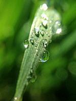 Wheat leaf with droplets.