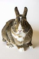 A rabbit, a pygmy rabbit, an agouti Netherland Dwarf isolated against white background.
