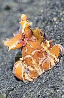 Wonderpus octopus, Wunderpus photogenicus, Lembeh Strait, North Sulawesi, Indonesia, Pacific.