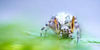 Spider, Néouvielle Nature Reserve, Vallée d'Aure, L'Occitanie, Hautes-Pyrénées, France, Europe.