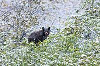 American black bear (Ursus americanus), Grand Teton National Park, Wyoming, Usa, America.