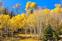 A grove golden aspen color a mountainside close to Torrey, Utah.