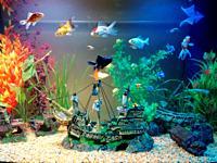 Goldfish species in an aquarium. Aquarium scene.