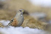 Alpine Accentor ( Prunella collaris ) sitting on the ground in a rest of snow, wildlife, Europe.