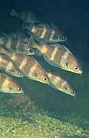 Pounting. Pout bib (Trisopterus luscus). Eastern Atlantic. Galicia. Spain. Europe.