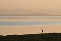 Canada, BC, Landner. Lone great blue heron standing in the shallow waters on the shore of the Georgia Strait, in the Fraser River Estuary. Vancouver I...