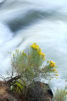Deschutes Wild and Scenic River rabbitbrush from Deschutes River Trail, Deschutes National Forest, Oregon.