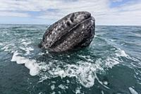 California gray whale calf, Eschritius robustus, surfacing in San Ignacio Lagoon, Baja California Sur, Mexico.