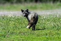 The cross fox is a partially melanistic colour variant of the red fox (Vulpes vulpes) which has a long dark stripe running down its back, intersecting...