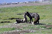 The cross fox family (Vulpes vulpes).San Juan Island, USA