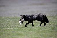 The cross fox bringing rabbit for the family.San Juan Island, USA