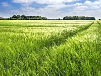 Sunlight reflecting off an unripe barley crop at Hay a Park near Knaresborough North Yorkshire England.