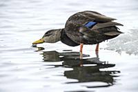 American black duck (Anas rubripes);, Fielding Park Sanctuary, Greater Sudbury, Ontario, Canada.