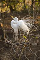 Great egret (Casmerodius albus, Ardea alba, Egretta alba) Courtship display, Smith Oaks Audubon Rookery, High Island, Texas, USA.