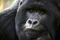 Mountain gorilla (Gorilla beringei beringei) silverback male, portrait, member of the Nyakagezi group, Mgahinga National Park, Uganda, Africa, Critica...