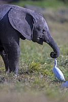 A White egret watches an elephant feeding in Ol Pejeta, Laikipia.
