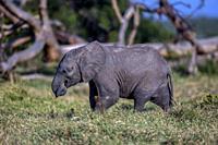 African Elephant baby feeding on grass in Ol Pejeta, Laikipia.