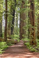 Path in the giant redwoods, Sequoia sempervirens, of Jedediah Smith Redwoods State Park, Northern California, USA.