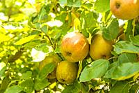 apples on a tree in summertime in Germany