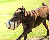 A Labrador Retriever running with a ball in his mouth.