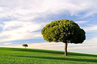 Stone pine (Pinus pinea). Villarrín de Campos. Tierra de Campos region. Zamora province. Castilla y León. Spain