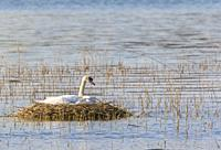 Brooding mute Swan on nest out on a lake, Södermanland, Sweden.
