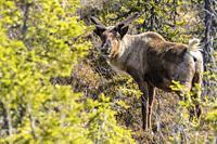 Reindeer, Rangifer tarandus standing and looking in to the camera, Gällivare county, Swedish Lapland, Sweden.