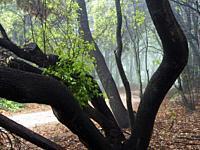 Holm oak trees (Quercus ilex). Montseny Natural Park. Barcelona province, Catalonia, Spain.