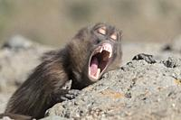 Africa, Ethiopia, Rift Valley, Debre Libanos, Gelada or Gelada baboon (Theropithecus gelada), male in intimidation posture, roll up the chops to show ...