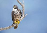 Eleonora's Falcon (Falco eleonorae) on a branch. , Majorca, Balearic Islands, Spain.