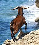 Majorcan Wild goat (Capra aegagrus hircus), Alcudia, Majorca, Balearic Islands, Spain