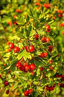 Hawthorn fruits, ripe on a tree in Germany