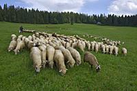 troupeau de moutons, Brzegi, environs de Zakopane, region Podhale, Massif des Tatras, Province Malopolska (Petite Pologne), Pologne, Europe Centrale/f...