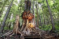 Canada's gnarliest tree - Avatar Grove - near Port Renfrew, Vancouver Island, British Columbia, Canada.