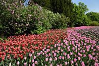Pink Rosalie with red Kelly and purple Synaeda blue tulip flowers and lilacs at Commissioners Park Canadian Tulip Festival Ottawa.