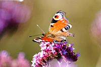 A Peacock butterfly (Aglais io) feasts on a Verbena plant in the morning sun.