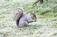 A squirrel (Sciurus carolinensis) forages on a frosty lawn, East Sussex, UK.